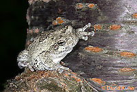 0303-0903  Eastern Gray Treefrog (Grey Tree Frog), Hyla versicolor  © David Kuhn/Dwight Kuhn Photography