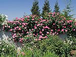 Climbing Pink Peace Rose, Rosa hybrid tea
