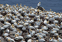 35-B04-GN-028    NORTHERN GANNET (Sula bassanus) large breeding colony at Bird Rock, Cape St. Mary's Ecological Reserve, Newfoundland, Canada.