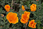 California poppies in Pescadero