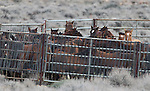 A group of mares and foals wait in a temporary corral at the east end of Dayton Valley Road after being gathered last week by BLM officials. After the mares received a fertility-control vaccine, 43 wild horses were released Tuesday, Nov. 30, 2010, in Dayton Valley, Nev. .Photo by Cathleen Allison