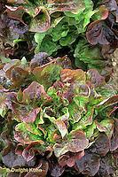 HS21-786x  Lettuce - Samantha variety - loose leaf