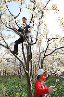 Dans les vergers, les couples s'entraident pour polliniser les arbres. Cette culture des poiriers intensive a besoin de plus de dix traitements aux insecticides par an.///In the orchards, the couples help each other to pollinate the trees.  This intensive farming of pears requires more than 10 insecticide treatments per year.