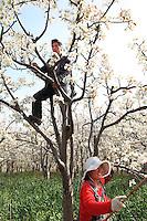 Dans les vergers, les couples s'entraident pour polliniser les arbres. Cette culture des poiriers intensive a besoin de plus de dix traitements aux insecticides par an.///In the orchards, the couples help each other to pollinate the trees.  This intensive farming of pears requires more than 10 insecticide treatments per year.