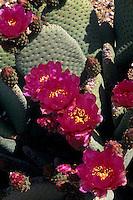 Hedgehog cactus (echinocereus engelmannii )