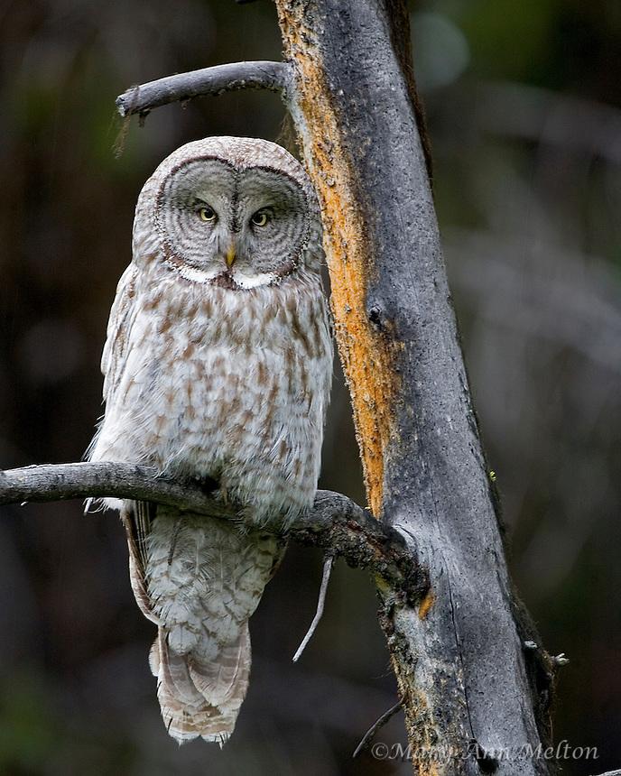Great Gray Owl, Strix nebulosa, Yellowstone National Park