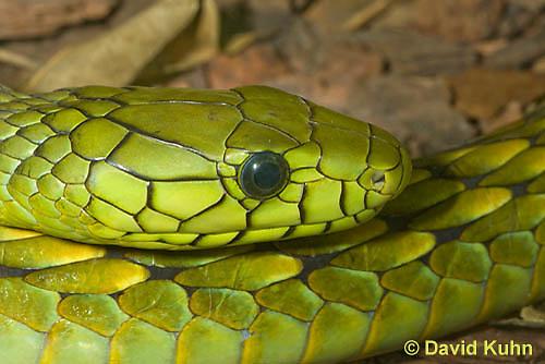 0423-1126  Western Green Mamba (West African Green Mamba), Detail of Head (Eyes and Nostrils), Dendroaspis viridis  © David Kuhn/Dwight Kuhn Photography