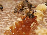 The meal of a bee on a honeycomb.<br /> Repas d'une abeille sur un rayon de miel.
