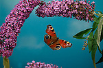Peacock Butterfly, Inachis io, in flight, flying through buddleia flowers, wings high speed photographic  flash technique.United Kingdom....