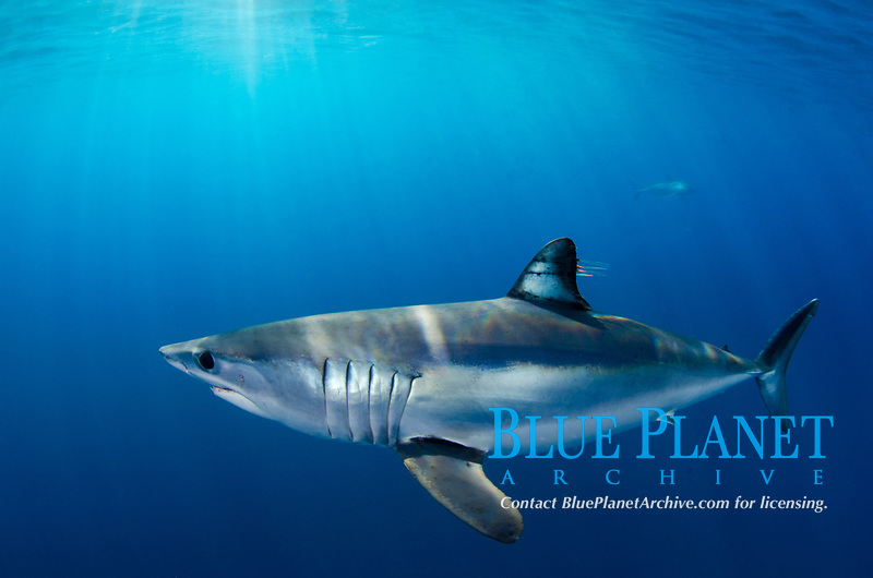 Shortfin Mako Shark, Isurus oxyrhynchus, Long Beach, Southern California, Eastern Pacific Ocean