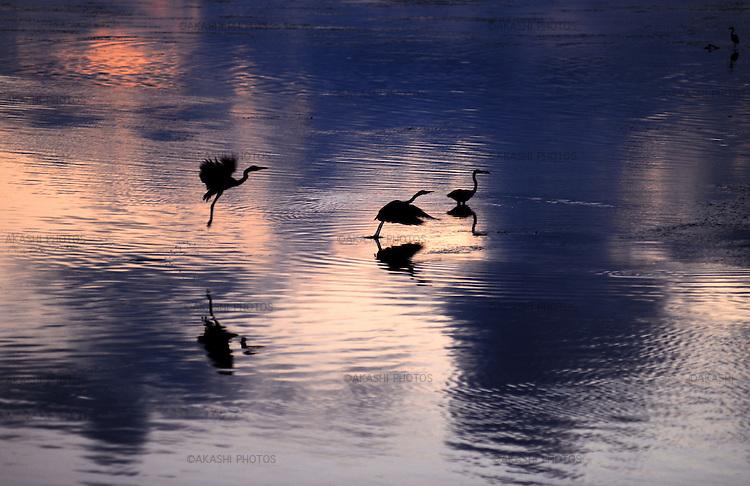 Bird, heron, in Cape Soya, the northernmost point of Japan very close to Sakhalin, Rusia.<br /> <br /> Oiseau, h&eacute;ron, au cap Soya, la pointe la plus septentrionale du Japon tr&egrave;s proche de Sakhaline, Russie.