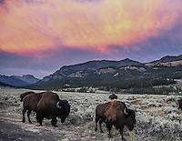 American bison  parade under an amazing sunset in Lamar Valley, Yellowstone National Park, Wyoming.