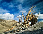 Great Basin Bristlecone Pine (Pinus longaeva) trees. Grow between 9,800 and 11,000 feet (3000-3400 m) above sea level in xeric alpine conditions in southwest US; Utah, Nevada and California. Grows to 16-49 ft (5 to 15 m) tall w/ trunk diameter of 8 ft 2 in to 11 ft 10 in (2.5 to 3.6 m). Species on International Union for Conservation of Nature (IUCN) red list. Protected within the Inyo National Forest. Among White Mountain specimens, oldest trees found on north-facing slopes, with an average of 2,000 years, as compared to the 1,000 year average on the southern slopes. The climate and the durability of their wood can preserve them long after death, with dead trees as old as 7,000 years persisting next to live ones. Leaves show the longest persistence of any plant, with some remaining green for 45 years. Ancient Bristlecone Pine Forest, Inyo County, Inyo National Forest, White Mountains, CA.
