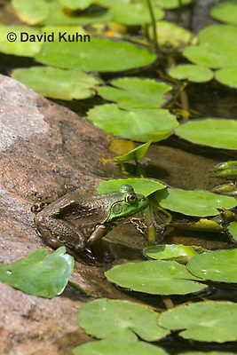 0818-1006  Camouflaged Northern Green Frog Sitting at edge of Pond, Lithobates clamitans, formerly Rana clamitans  © David Kuhn/Dwight Kuhn Photography