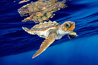 loggerhead sea turtle, Caretta caretta, juvenile, swimming in open ocean, Bahamas, Caribbean Sea, Atlantic Ocean