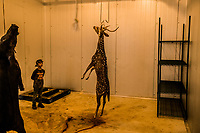 A boy looks at an Axis Buck the hunted the day before, as it hangs in a cooler room before being transported from the ranch, at the Ox Ranch on 17th of August, 2017 in Uvalde, Texas, USA. <br /> Photo Daniel Berehulak for the New York Times