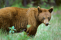 Cinnamon phase Black Bear (Ursus americanus) feeding on dandelion plant.  Northern Rockies.  June.