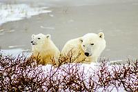 A mother Polar Bear keeps a watchful eye on her only cub. Hudson Bay, Churchill, Canada