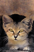 613401004 a sand cat felis margarita looks out from its home burrow in an enclosure in the sonora desert museum in arizona species is native to the deserts of northern africa and eastern and central asia and is endangered in the wild