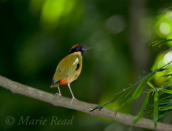 Noisy Pitta (Pitta versicolor), Eungella National Park, Queensland, Australia