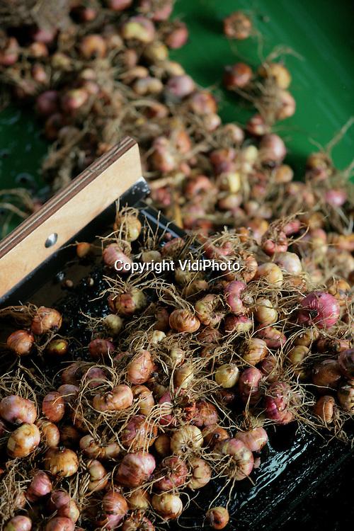 Foto: VidiPhoto..HEUMEN - In Heumen en omgeving is gladiolenkweker Theo Theunissen begonnen met de oogst en verwerking van in totaal 45 miljoen gladiolenbollen en 17,5 miljoen lelybollen. Doordat hij een gloednieuw spoelsysteem bezit, kan er per kwartier zo'n 16 ton bollen verwerkt worden. De bollen zijn met name bestemd voor de export naar het buitenland.