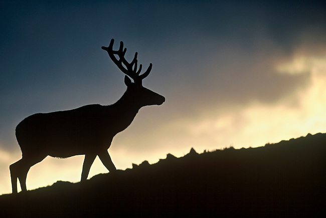 An American elk bull (Cervus elaphus) is silhouetted by the setting sun at the Lava Cliffs, Rocky Mountain National Park, Colorado.