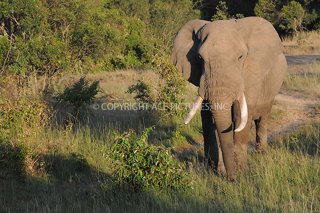 WWW.ACEPIXS.COM<br /> March 6, 2016 New York City<br /> <br /> Elephants in Maasai Mara National Reserve on March 6, 2016 in Kenya.<br /> <br /> Credit: Kristin Callahan<br /> web: http://www.acepixs.com