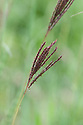 Bothriochloa ischaemum, early July. A perennial grass commonly known as Yellow bluestem.