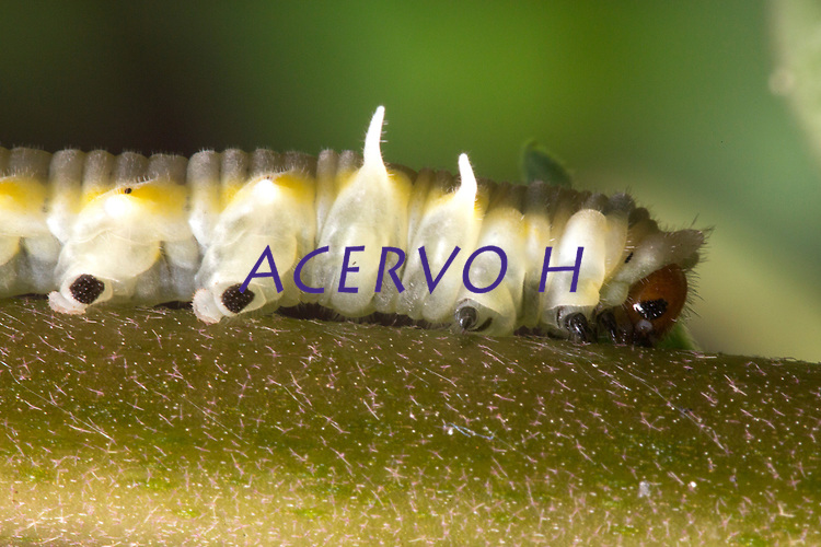 Lagarta em quintal de casa na periferia de Belém.<br /><br />Lagarta- Mechanitis polymnia casabranca (Haensch, 1905) <br />Família: Nymphalidae (borboleta). <br />Uma das borboletas mais comuns, ocorrendo em quase todo o Brasil. Voa durante os doze meses do ano, lentamente e próxima ao solo, em locais sombreados e úmidos ou em clareiras e bordas das matas, à procura das flores das plantas do gênero Eupatorium (Asteraceae). <br />Aprecia igualmente se nutrir do nitrogênio deixado pelo excremento de aves sobre as folhas das plantas, e mesmo de matérias orgânicas em decomposição. <br />O ciclo vital é curto, aproximadamente um mês de ovo a adulto. Os ovos agrupados são colocados em solanáceas, como tomateiro e jurubeba, na face superior, e medem aproximadamente 1 mm. <br />As lagartas mantêm-se juntas até o período pré-pupa e, as vezes, mesmo nesse estágio, não se dispersam, não sendo raro encontrarem-se várias crisálidas sob mesma folha da planta-alimento. <br />As belas crisálidas (17mm), cor de ouro mais parecem joias que o estágio de um inseto. O adulto pode viver vários meses. <br />A espécie é muito mansa, sendo criada facilmente em borboletários, desde que suas condições diversificadas de alimentação sejam providas.