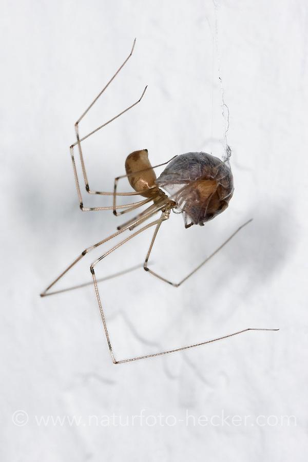 Große Zitterspinne, Grosse Zitterspinne, mit Beutetier, mit eingesponnener Beute, Zitter-Spinne, an der Zimmerdecke in der Wohnung, Pholcus phalangioides, long-bodied cellar spider, longbodied cellar spiderPholcidae, Zitterspinnen
