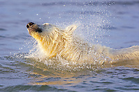 polar bear cub, Ursus maritimus, swimming, shaking its head of water, Arctic National Wildlife Refuge, Alaska, Arctic Ocean, polar bear, Ursus maritimus