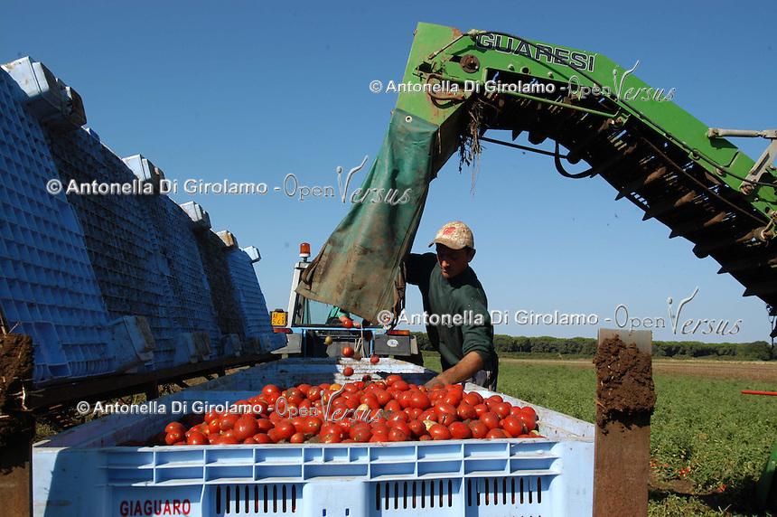 Contadini durante la raccolta di pomodori. Farmers during the harvesting of tomatoes....