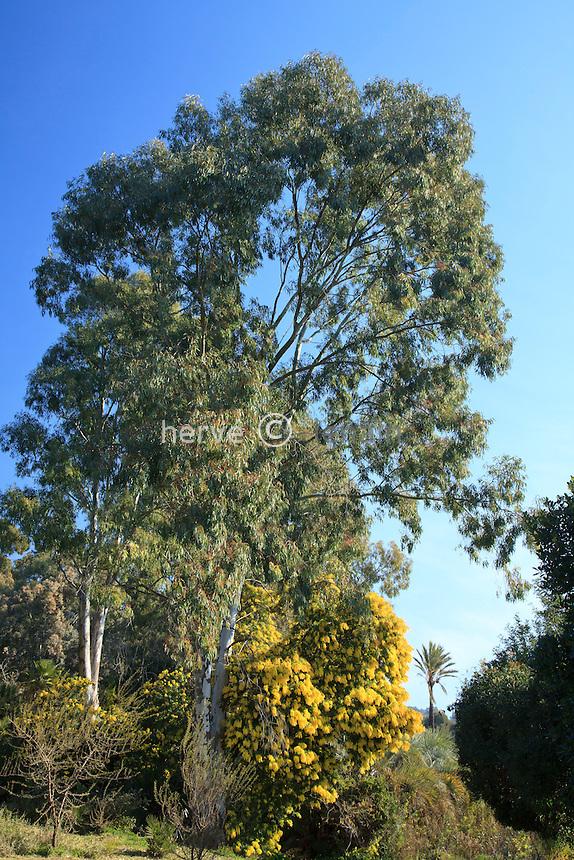 Le domaine du Rayol en f&eacute;vrier : Eucalyptus globulus = eucalyptus globuleux = gommier et mimosa = Acacia<br /> <br /> (mention obligatoire du nom du jardin &amp; pas d'usage publicitaire sans autorisation pr&eacute;alable)