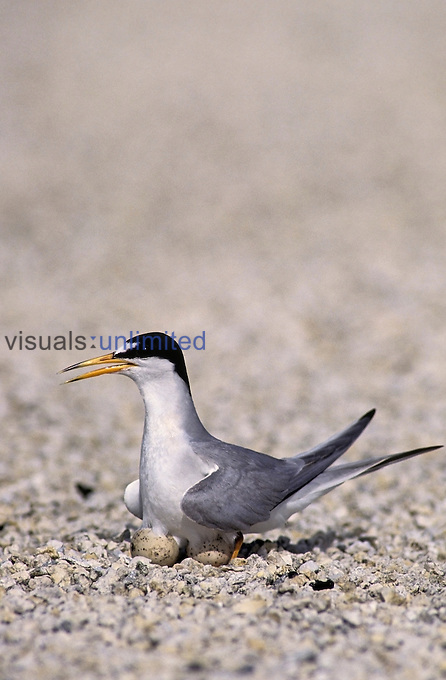 Little Tern on its nest with eggs (Sterna albifrons), Florida, USA....