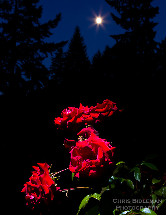 Gift card photo (set of 4) of Roses with moon glowing in twilight sky with silhoutte of trees