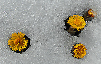 Tussilago farfara in snow