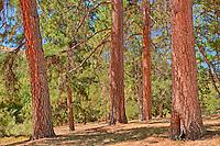 Ponderosa Pines, Mayer State Prrk, Oregon