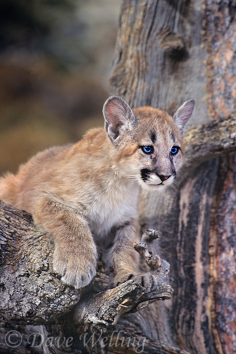 656326041 a captive mountain lion cub felis concolor sits in the notch of a tree staring out at its habitat in central montana