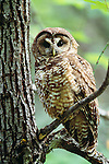 Northern spotted owl, Wenatchee National Forest, Washington.