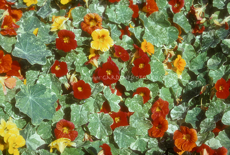 Nasturtium Alaska mix, variegated foliage, Tropaeoleum annuals in red, orange, yellow colors flowers