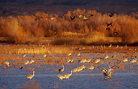 512666078 a large flock of sandhill cranes grus canadensis forage in a large pond in bosque del apache national wildlife refuge new mexico