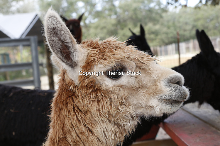 Portrait of a cute, young Alpaca on a farm in central<br /> Florida