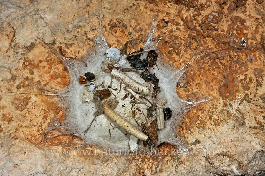 Zeltdachspinne, Zeltdach-Spinne, Gespinst, Netz, geöffnet mit Beuteresten, Uroctea durandi, Oecobiidae, Scheibennetzspinnen