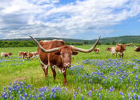 This friendly longhorn who happen to be standing in this field of bluebonnets posed for his portrait which we were very pleased about in the Texas Hill country.