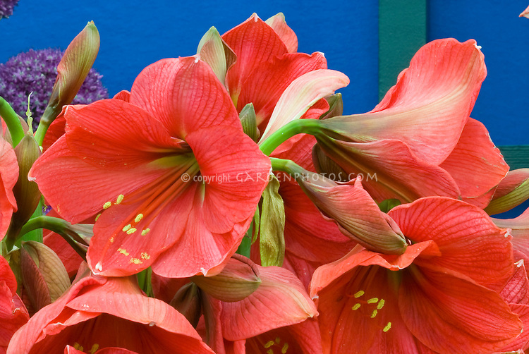 Hippeastrum hercules amaryllis red plant flower for Un amaryllis