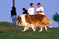 Animais. Mamiferos. Cães. Cachorro Collie. Foto de Juca Martins.
