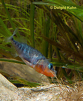 1S22-545z  Male Threespine Stickleback shaping nest by pushing plant materials with it mouth, mating colors showing bright red belly and blue eyes,  Gasterosteus aculeatus,  Hotel Lake British Columbia
