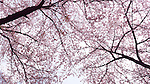 Cherry blossom on cherry trees low angle view. Tokyo, Japan.