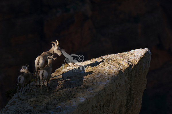 Desert Bighorn Sheep (Ovis canadensis nelsoni)--ewe with lambs.  Grand Canyon National Park, Arizona.