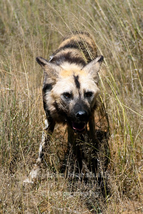 The African Wild Dog (Lycaon pictus) is a large canid found only in Africa, especially in savannas and other lightly wooded areas. It is variously called the African Wild Dog, African Hunting Dog, Cape Hunting Dog, Painted Dog, Painted Wolf, Painted Hunting Dog, Spotted Dog, or Ornate Wolf.